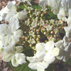 Flowers: Viburnum lantanoides. ~ By Donald Cameron. ~ Copyright © 2017 Donald Cameron. ~ No permission needed for non-commercial uses, with proper credit
