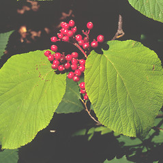 Fruits: Viburnum lantanoides. ~ By Dorothy Long. ~ Copyright © 2019 New England Wild Flower Society. ~ Image Request, images[at]newenglandwild.org