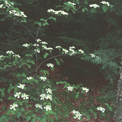 Plant form: Viburnum lantanoides. ~ By Jean Baxter. ~ Copyright © 2017 New England Wild Flower Society. ~ Image Request, images[at]newenglandwild.org
