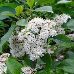 Flowers: Viburnum lentago. ~ By Arthur Haines. ~ Copyright © 2018. ~ arthurhaines[at]wildblue.net
