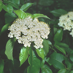 Flowers: Viburnum lentago. ~ By Frank Bramley. ~ Copyright © 2018 New England Wild Flower Society. ~ Image Request, images[at]newenglandwild.org