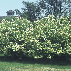 Plant form: Viburnum lentago. ~ By Lucien Taylor. ~ Copyright © 2018 New England Wild Flower Society. ~ Image Request, images[at]newenglandwild.org