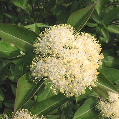 Flowers: Viburnum nudum. ~ By Marilee Lovit. ~ Copyright © 2019 Marilee Lovit. ~ lovitm[at]gmail.com