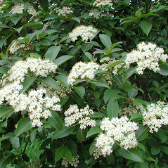Plant form: Viburnum nudum. ~ By Donna Kausen. ~ Copyright © 2019 Donna Kausen. ~ 33 Bears Den, Addison, ME 04606