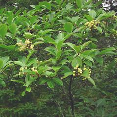 Plant form: Viburnum nudum. ~ By Glen Mittelhauser. ~ Copyright © 2019 Glen Mittelhauser. ~ www.mainenaturalhistory.org