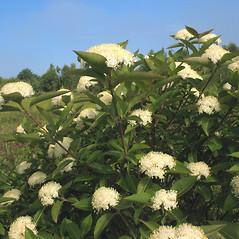 Plant form: Viburnum nudum. ~ By Marilee Lovit. ~ Copyright © 2019 Marilee Lovit. ~ lovitm[at]gmail.com