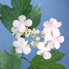 Flowers: Viburnum opulus. ~ By Adelaide Pratt. ~ Copyright © 2018 New England Wild Flower Society. ~ Image Request, images[at]newenglandwild.org