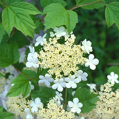Flowers: Viburnum opulus. ~ By Roland Boutwell. ~ Copyright © 2019 Roland Boutwell. ~ Requests for image use not currently accepted by copyright holder