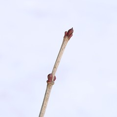 Winter buds: Viburnum opulus. ~ By Arieh Tal. ~ Copyright © 2018 Arieh Tal. ~ http://botphoto.com/ ~ Arieh Tal - botphoto.com