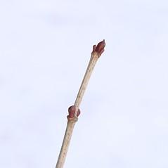 Winter buds: Viburnum opulus. ~ By Arieh Tal. ~ Copyright © 2017 Arieh Tal. ~ www.nttlphoto.com ~ Arieh Tal - www.nttlphoto.com