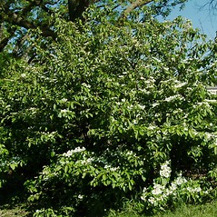 Plant form: Viburnum plicatum. ~ By Paul S. Drobot. ~ Copyright © 2019 Paul S. Drobot. ~ www.plantstogrow.com, www.plantstockphotos.com ~ Robert W. Freckmann Herbarium, U. of Wisconsin-Stevens Point