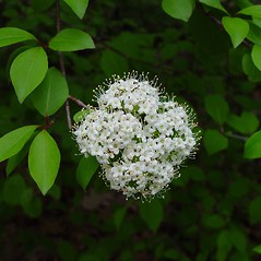 Flowers: Viburnum prunifolium. ~ By Arthur Haines. ~ Copyright © 2018. ~ arthurhaines[at]wildblue.net