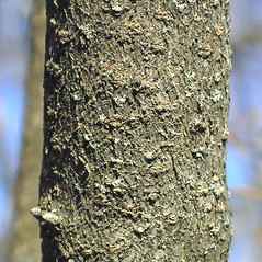 Bark: Viburnum rafinesquianum. ~ By Bruce Patterson. ~ Copyright © 2017 Bruce Patterson. ~ foxpatterson[at]comcast.net