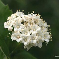 Flowers: Viburnum rafinesquianum. ~ By Keir Morse. ~ Copyright © 2019 Keir Morse. ~ www.keiriosity.com ~ www.keiriosity.com
