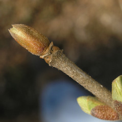 Winter buds: Viburnum sieboldii. ~ By Bruce Patterson. ~ Copyright © 2018 Bruce Patterson. ~ foxpatterson[at]comcast.net