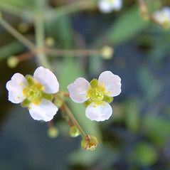 Flowers and fruits: Alisma gramineum. ~ By Louis-M. Landry. ~ Copyright © 2018 Louis-M. Landry. ~ LM.Landry[at]videotron.ca  ~ CalPhotos - calphotos.berkeley.edu/flora/