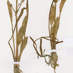 Leaves: Alisma gramineum. ~ By CONN Herbarium. ~ Copyright © 2020 CONN Herbarium. ~ Requests for image use not currently accepted by copyright holder ~ U. of Connecticut Herbarium - bgbaseserver.eeb.uconn.edu/