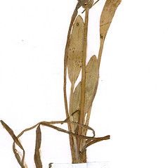 Stems: Alisma gramineum. ~ By CONN Herbarium. ~ Copyright © 2020 CONN Herbarium. ~ Requests for image use not currently accepted by copyright holder ~ U. of Connecticut Herbarium - bgbaseserver.eeb.uconn.edu/