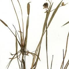 Leaves: Sagittaria engelmanniana. ~ By CONN Herbarium. ~ Copyright © 2018 CONN Herbarium. ~ Requests for image use not currently accepted by copyright holder ~ U. of Connecticut Herbarium - bgbaseserver.eeb.uconn.edu/