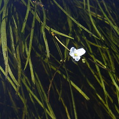 Flowers and fruits: Sagittaria filiformis. ~ By Donald Cameron. ~ Copyright © 2018 Donald Cameron. ~ No permission needed for non-commercial uses, with proper credit