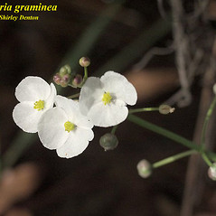 Inflorescences: Sagittaria graminea. ~ By Shirley Denton. ~ Copyright © 2019 Shirley Denton. ~ ecotypes[at]verizon.net ~ Atlas of Florida Vascular Plants - florida.plantatlas.usf.edu/Default.aspx