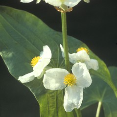 Flowers: Sagittaria latifolia. ~ By Albert Bussewitz. ~ Copyright © 2019 New England Wild Flower Society. ~ Image Request, images[at]newenglandwild.org