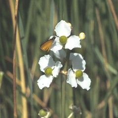 Flowers: Sagittaria latifolia. ~ By John Lynch. ~ Copyright © 2019 New England Wild Flower Society. ~ Image Request, images[at]newenglandwild.org