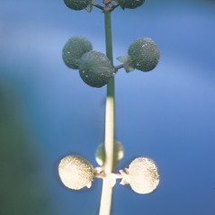Fruits: Sagittaria latifolia. ~ By Frank Bramley. ~ Copyright © 2020 New England Wild Flower Society. ~ Image Request, images[at]newenglandwild.org