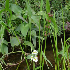 Plant form: Sagittaria latifolia. ~ By Donald Cameron. ~ Copyright © 2020 Donald Cameron. ~ No permission needed for non-commercial uses, with proper credit