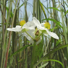 Inflorescences: Sagittaria latifolia. ~ By Arthur Haines. ~ Copyright © 2018. ~ arthurhaines[at]wildblue.net