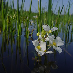 Flowers: Sagittaria rigida. ~ By Donald Cameron. ~ Copyright © 2020 Donald Cameron. ~ No permission needed for non-commercial uses, with proper credit