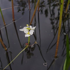 Flowers: Sagittaria rigida. ~ By Donald Cameron. ~ Copyright © 2019 Donald Cameron. ~ No permission needed for non-commercial uses, with proper credit
