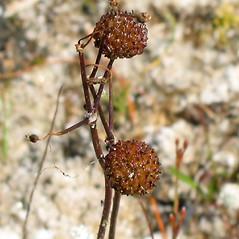 Fruits: Sagittaria teres. ~ By Alexey Zinovjev. ~ Copyright © 2019. ~ webmaster[at]salicicola.com ~ Salicicola - www.salicicola.com/