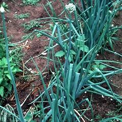 Plant form: Allium cepa. ~ By Robert Freckmann. ~ Copyright © 2019 Robert Freckmann. ~ rfreckma[at]uwsp.edu ~ Robert W. Freckmann Herbarium, U. of Wisconsin-Stevens Point