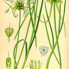 Plant form: Allium oleraceum. ~ By Otto Wilhelm Thome. ~  Public Domain. ~  ~ commons.wikimedia.org/wiki/Image:Illustration_Lagurus_ovatus0.jpg