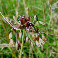 Inflorescences: Allium oleraceum. ~ By Paul Busselen . ~ Copyright © 2017 Paul Busselen . ~ No permission necessary; any use permitted ~ Plant Guide, Biology Department, Katholieke Universiteit Leuven, Campus Kortrijk