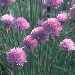Flowers: Allium schoenoprasum. ~ By Albert Bussewitz. ~ Copyright © 2019 New England Wild Flower Society. ~ Image Request, images[at]newenglandwild.org