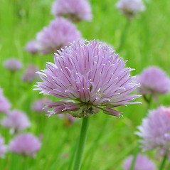 Flowers: Allium schoenoprasum. ~ By Arthur Haines. ~ Copyright © 2020. ~ arthurhaines[at]wildblue.net