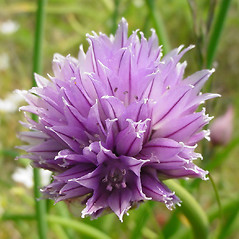 Flowers: Allium schoenoprasum. ~ By Glen Mittelhauser. ~ Copyright © 2020 Glen Mittelhauser. ~ www.mainenaturalhistory.org