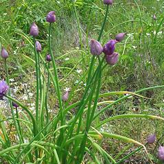 Plant form: Allium schoenoprasum. ~ By Glen Mittelhauser. ~ Copyright © 2017 Glen Mittelhauser. ~ www.mainenaturalhistory.org