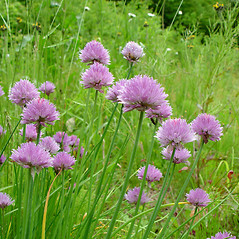 Inflorescences: Allium schoenoprasum. ~ By Arthur Haines. ~ Copyright © 2019. ~ arthurhaines[at]wildblue.net
