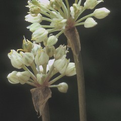 Flowers: Allium tricoccum. ~ By Albert Bussewitz. ~ Copyright © 2018 New England Wild Flower Society. ~ Image Request, images[at]newenglandwild.org