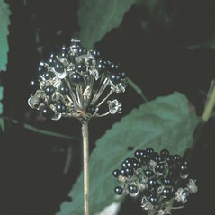 Fruits: Allium tricoccum. ~ By Frank Bramley. ~ Copyright © 2018 New England Wild Flower Society. ~ Image Request, images[at]newenglandwild.org
