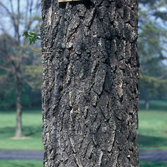 Bark: Liquidambar styraciflua. ~ By Frank Bramley. ~ Copyright © 2019 New England Wild Flower Society. ~ Image Request, images[at]newenglandwild.org