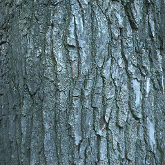 Bark: Liquidambar styraciflua. ~ By John Lynch. ~ Copyright © 2019 New England Wild Flower Society. ~ Image Request, images[at]newenglandwild.org