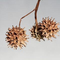 Fruits: Liquidambar styraciflua. ~ By Arieh Tal. ~ Copyright © 2019 Arieh Tal. ~ http://botphoto.com/ ~ Arieh Tal - botphoto.com