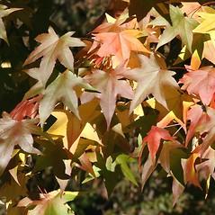 Leaves: Liquidambar styraciflua. ~ By Arieh Tal. ~ Copyright © 2019 Arieh Tal. ~ http://botphoto.com/ ~ Arieh Tal - botphoto.com