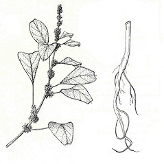 Plant form: Amaranthus blitum. ~ By New York State Museum. ~ Copyright © 2017 New York State Museum. ~ www.nysm.nysed.gov/imagerequest