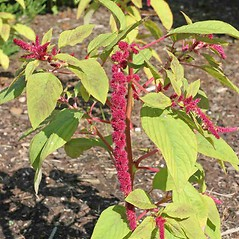 Plant form: Amaranthus caudatus. ~ By Charles Brun. ~ Copyright © 2019. ~ brunc[at]wsu.edu ~ Pacific Northwest Plants - www.pnwplants.wsu.edu/