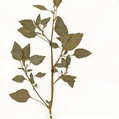 Plant form: Amaranthus dubius. ~ By CONN Herbarium. ~ Copyright © 2019 CONN Herbarium. ~ Requests for image use not currently accepted by copyright holder ~ U. of Connecticut Herbarium - bgbaseserver.eeb.uconn.edu/